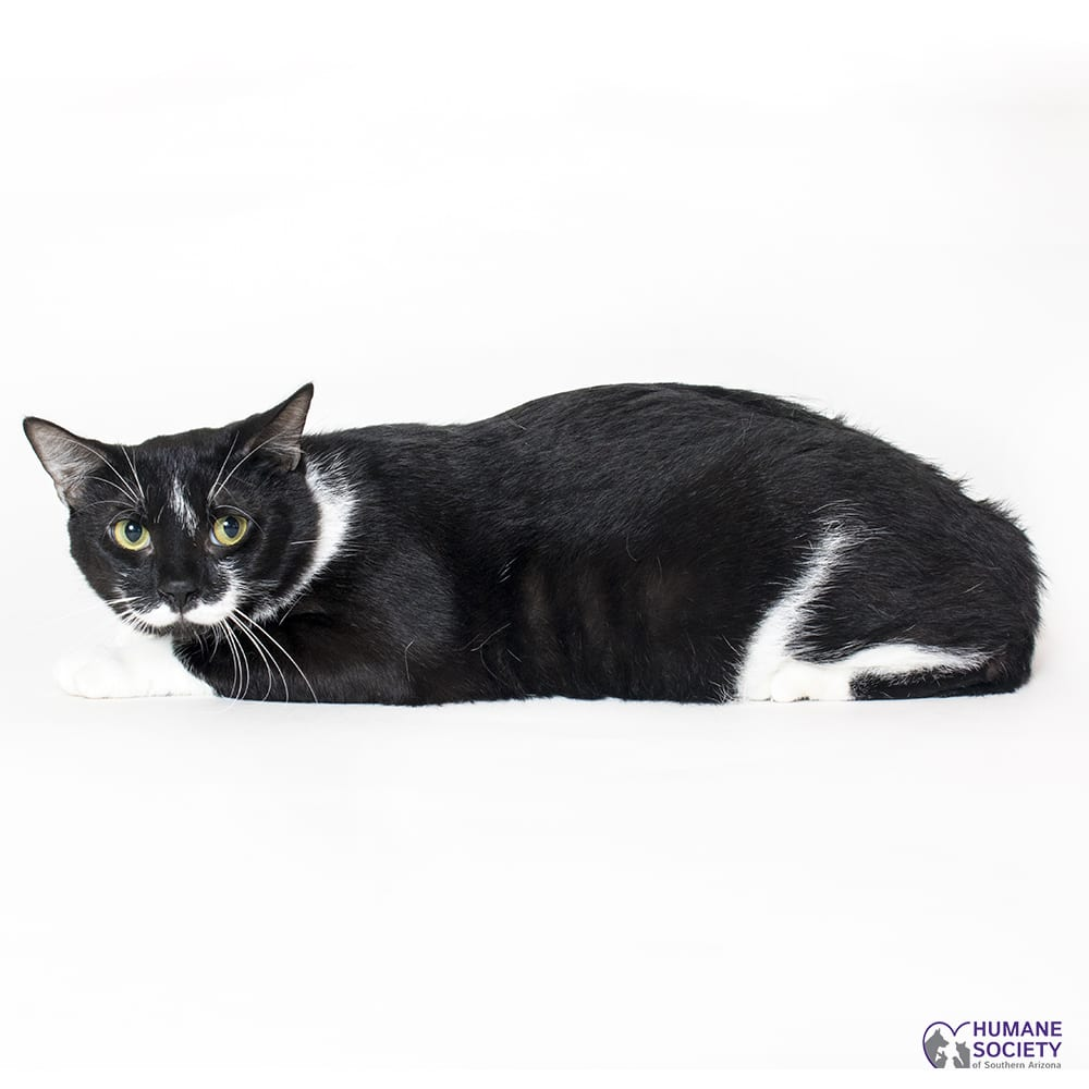 Cat with black and white fur on white backdrop