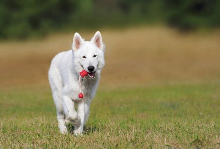 swiss-shepherd-dog-354526_960_720-700x476