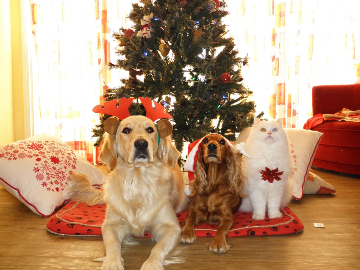 pets_christmas_dogs_cat_santa_claus_cap-1065325