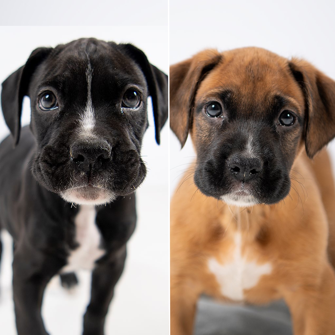 Boxer Puppies After